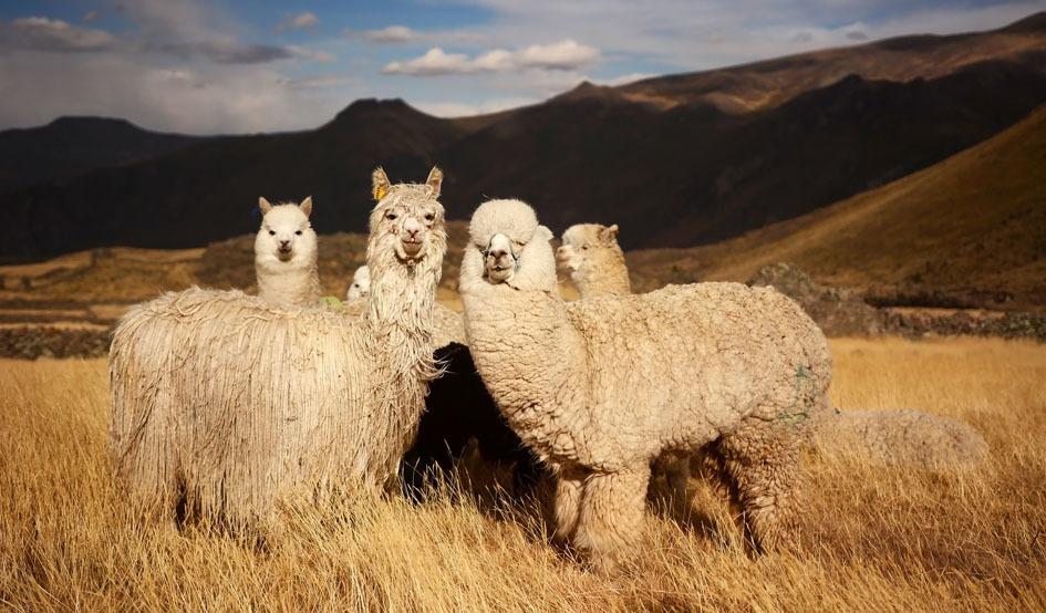 Alpaga, INNATA, Pérou, décoration, haut de gamme